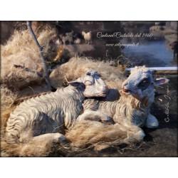 Coppia di agnelli